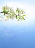 Le branchement avec des fleurs de cerise au-dessus de bleu Photographie stock