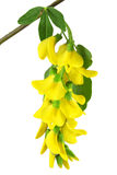 Le branchement de l'acacia jaune Images stock