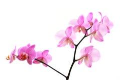 le branchement a isolé la violette de tigre des orchidées s Photos stock