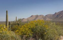 Le brittlebush jaune est ressort avec les montagnes et le désert Images libres de droits