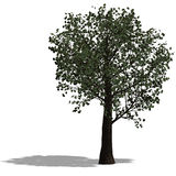 le broadleef 3d rendent l'arbre illustration stock