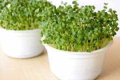 Le brocoli pousse l'élevage dans le sol dans des pots blancs Images libres de droits