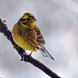 Le bruant jaune, citrinella d'Emberiza Photo stock