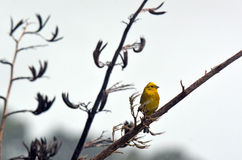 Le bruant jaune masculin se reposent sur une branche d'usine de lin Photographie stock libre de droits