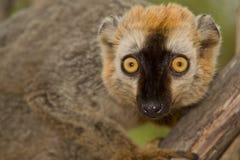 le brun a affronté le rouge de lemur Image stock