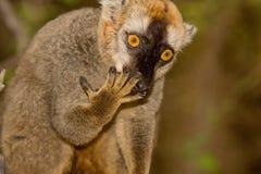 le brun a affronté le rouge de lemur Photo stock