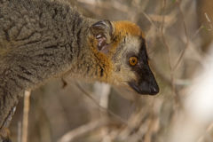 le brun a affronté le rouge de lemur Photographie stock