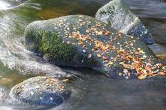 Le brun de chute d'automne part sur le rocher dans le courant Image libre de droits