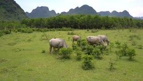 Le Buffalo si alimentano con erba fresca sulla grande vista aerea del prato stock footage