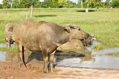 Le Buffalo sono immerse in acqua. Fotografia Stock