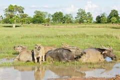 Le Buffalo sono immerse in acqua. Fotografia Stock Libera da Diritti