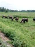 Le Buffalo stanno alimentando l'erba Fotografie Stock Libere da Diritti