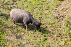 Le buffle asiatique frôle sur les montagnes en terrasse Photographie stock libre de droits