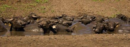Le buffle d'eau prennent un bain de boue Image libre de droits