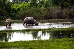Le buffle mange l'herbe dans les domaines inondés, arrosant le grasshop Image libre de droits