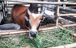 Le buffle orange mangeait des herbes dans son écurie Images stock