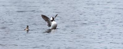 Le Bufflehead penche l'albeola de Bucephala au printemps Le canard noir et blanc visite les lacs du nord et les étangs dans l'éle Photo stock