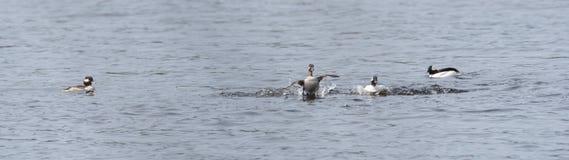 Le Bufflehead penche l'albeola de Bucephala au printemps Le canard noir et blanc visite les lacs du nord et les étangs dans l'éle Photos stock