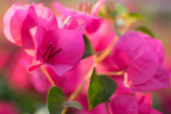 Le buganvillea rosa bagnano la luce solare Immagine Stock