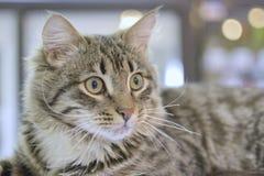 Le bugie e gli sguardi del gatto Immagine Stock Libera da Diritti