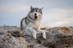 Le bugie grige divertenti del husky su una roccia coperta di muschio contro un fondo delle nuvole e di un cielo blu e fanno i fro Immagine Stock Libera da Diritti