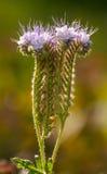 Le Bugloss de la vipère d'herbes au soleil Image stock