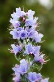 Le Bugloss de la vipère (Echium vulgaire Image stock