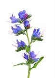 Le Bugloss de la vipère (vulgare d'Echium) Photos stock