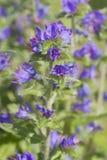 Le BUGLOSS de la VIPÈRE (vulgare d'Echium) Image stock