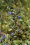 Le Bugloss de la vipère ou le Blueweed (vulgare d'Echium) Photos stock