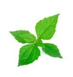 Le buisson amer, mauvaise herbe du Siam, vert part sur le blanc Photographie stock libre de droits