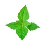 Le buisson amer, mauvaise herbe du Siam, vert part sur le blanc Image libre de droits