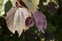 Le buisson d'épice japonais est mieux connu avec son obtusiloba scientifique de Lindera de nom Image stock