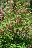 Le buisson de floraison du sanguineum rouge sang Pursh de Ribes de groseille Image libre de droits
