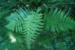 Le buisson de fougère avec le vert laisse l'élevage dans l'herbe Image libre de droits