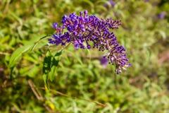 Le buisson de papillon de buddleia un genre de plus de cent espèces coulent Images libres de droits