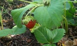 Le buisson est les fraises douces très savoureuses photo libre de droits