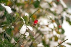 Le buisson vert des roses image stock