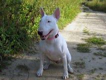 Le bull-terrier anglais marche dehors Photographie stock