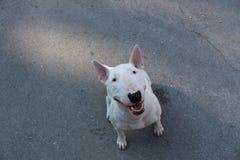 Le bull-terrier anglais marche dehors Photographie stock libre de droits