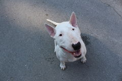 Le bull-terrier anglais marche dehors Images stock