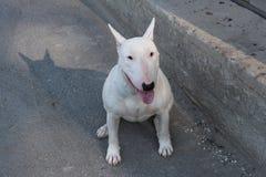 Le bull-terrier anglais marche dehors Images libres de droits