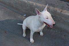 Le bull-terrier anglais marche dehors Photos libres de droits