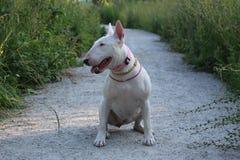Le bull-terrier anglais marche dehors Image libre de droits