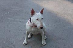 Le bull-terrier anglais marche dehors Photos stock