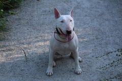 Le bull-terrier anglais marche dehors Image stock
