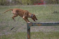 Le bull-terrier de Brown le Staffordshire américain saute par-dessus un obstacle pendant un stage de formation Photo stock
