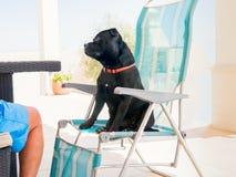 Le bull-terrier du Staffordshire s'asseyant sur une chaise longue aiment un humain Image libre de droits