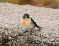 Le Bullfinch des Açores (murina de Pyrrhula) Photos libres de droits