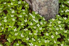Le Bunchberry fleurit le canadensis de cornus à l'arbre de taiga Photo stock